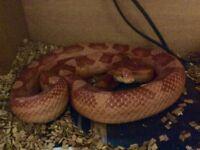Albino corn snake (amelanistic corn snake)