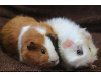 11 wk old Female Guinea Pigs £25.00 the pair
