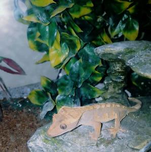 Gecko and complete setup & food 150 OBO