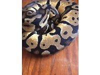 Pastel Ball Python For Sale! Great Feeder & Very Docile!