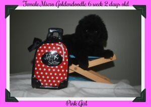 2 sweet micro goldendoodle avalaible !! please read