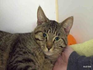 "Adult Male Cat - Domestic Short Hair: ""CAMERON"""