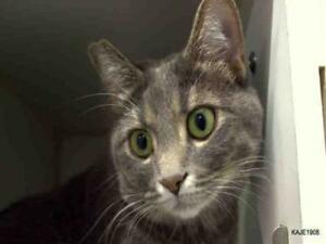 "Young Female Cat - Domestic Short Hair: ""SIDNEY"""