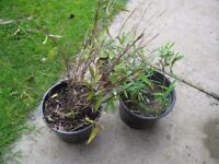 BAMBOO PLANTS POTTED grows up to 3 ft of height