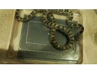Anery Female Corn Snake for sale