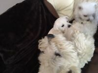 2 West Highland White Puppies For Sale