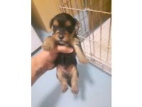 Yorkshire terrier boys&girls puppies
