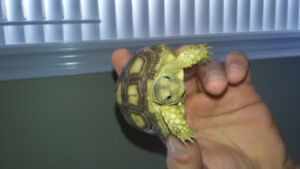 (sulcata tortise) price is firm but go to good home