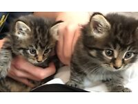 Bengal x maincoon kittens for sale