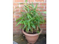 Potted bamboo plants