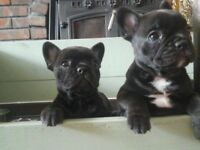 french bulldog puppies stunning litter
