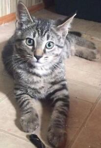 "Baby Male Cat - Domestic Short Hair-Tabby: ""Pretzel"""