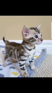 Bengals (hypoallergenic ,intelligent, less shedding)