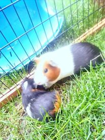 A pair of lovely pet sows for sale