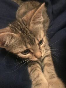 Toyger/Maine coon Kitten