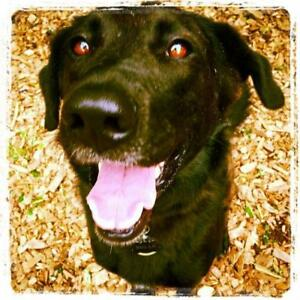 "Adult Female Dog - Flat-Coated Retriever-Border Collie: ""Betty"""