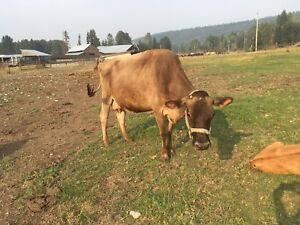 4 year old bred Jersey cow