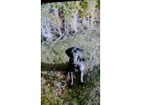 Black Labrador female for sale