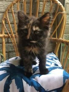 "Baby Female Cat - Domestic Medium Hair: ""Barbara"""
