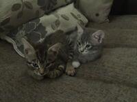 2 female tabby kittens for sale