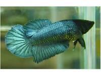 Female Halfmoon Betta Tropical Fish