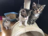 Ragdoll x British short hair kittens. Long haired golden tabby female and white and tabby male