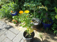 Plants for sale- Calendula plant in a 14 cm pot