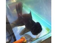 Black Orandas 12cm for sale Fancy Goldfish HUGE OFFER!