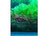 Red Cherry Shrimp