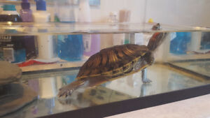 12 Year Old Red Eared Turtle With Tank