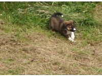 WELSH SHEEPDOG PUPPIES RED/BRINDLE