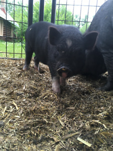 6 Month old Pot Bellied Piglets