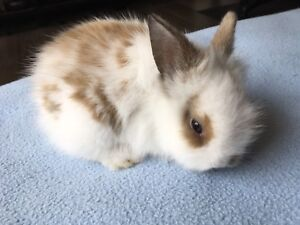 Baby Lionhead Dwarf Purebred Double Maned Bunnies plus Food& Hay