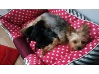 3 tiny boys yorkshire terrier