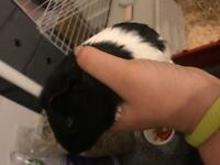 6months old male guinea pig & 5ft hutch