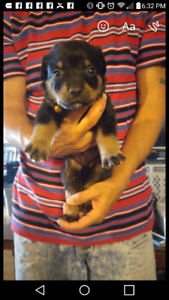 One Female Rotti Pup Left For Sale