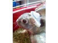 Rabbit for sale £10 in westbury