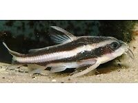 Humbug Catfish approx 2 inches size. BARGAIN at £3