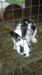 fluffy bunny for sale