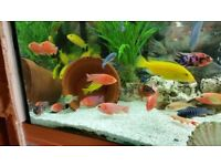 DRAGONBLOOD PEACOCK CICHLIDS 2.5 INCH £6 EACH OR 3 FOR £15