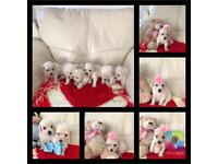 Gold and white poochon puppy's