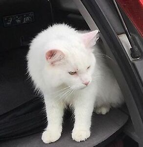 Lost white cat - Chelsea, QC