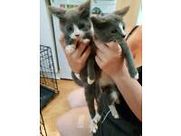 11 week old kittens blue harliquin and totoisehell