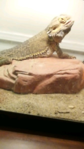 Free bearded dragon to a good home!!!