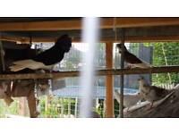 Pigeons - Dutch Cappacino, Indian Fantail, Dove