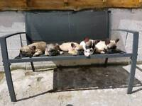 **READY NOW** FRENCH BULLDOG PUPPIES