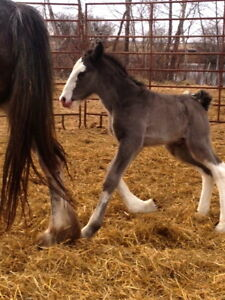 2017 Black Registered Clydesdale Colt