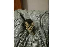 Tabby kitten 3 months old