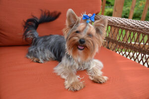 Beautiful Yorkshire Terrier Male
