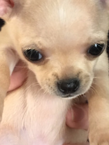 2 Little Male Chihuahua Puppies